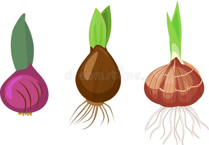 Metta delle lampadine delle piante bulbose differenti con il germoglio e le radici verdi illustrazione di stock