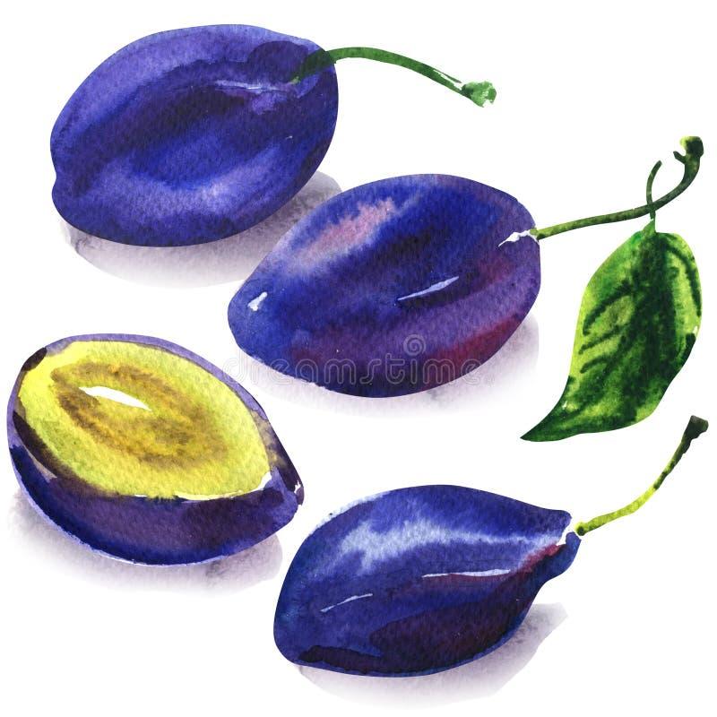 Metta delle prugne blu dolci mature, di intera prugna con la foglia verde e della metà, la frutta, alimento vegetariano, disegnat illustrazione vettoriale