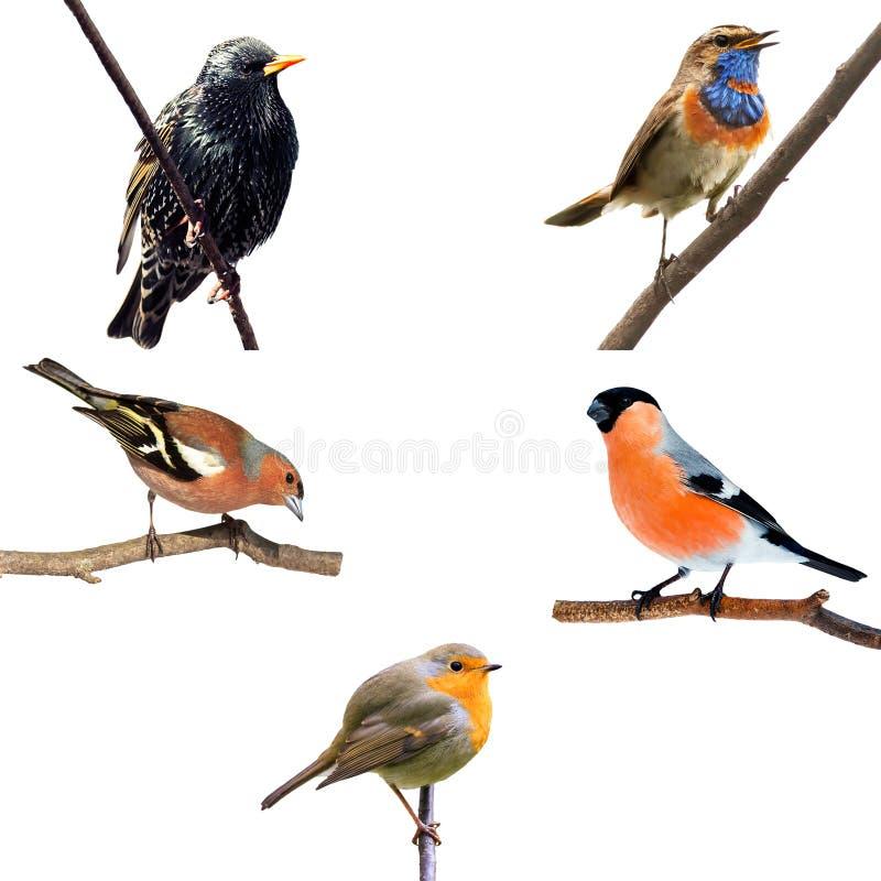 Metta di molti uccelli della parte europea sui rami che si siedono sul bianco fotografia stock