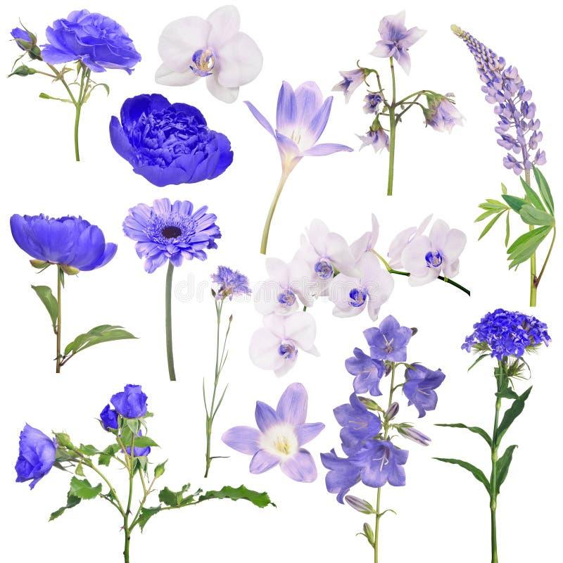 Metta di quattordici fiori blu di colore isolati su bianco immagini stock libere da diritti