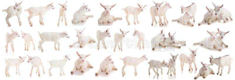 Metta i bambini di una capra, isolati fotografie stock libere da diritti
