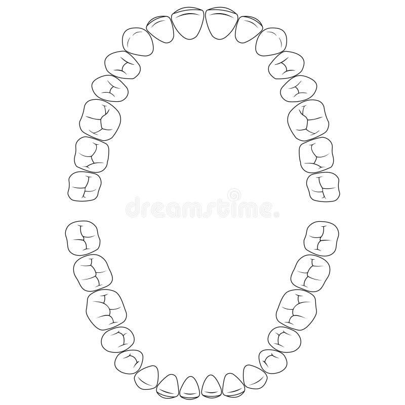 Metta i denti delle fenditure, la superficie di masticazione dei denti superiori e della mandibola più bassa, l'illustrazione den illustrazione di stock