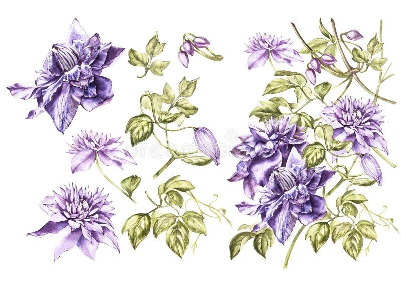 Metta l'illustrazione in acquerello di un fiore del fiore della clematide Carta floreale con i fiori Illustrazione botanica royalty illustrazione gratis