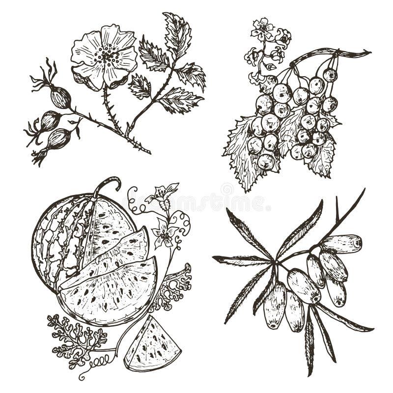 metta le bacche ribes rosso, olivello spinoso, rosa canina, anguria inciso disegnato a mano nel vecchio schizzo, stile d'annata illustrazione vettoriale