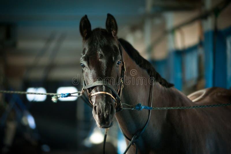 Metta un freno ad un cavallo nella stalla fotografia stock libera da diritti
