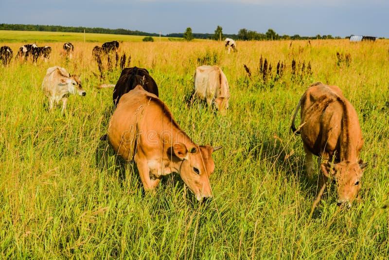 Mettez en place avec l'herbe verte et jeunes les vaches frôlant au coucher du soleil d'un jour ensoleillé Région de Moscou, Russi photographie stock