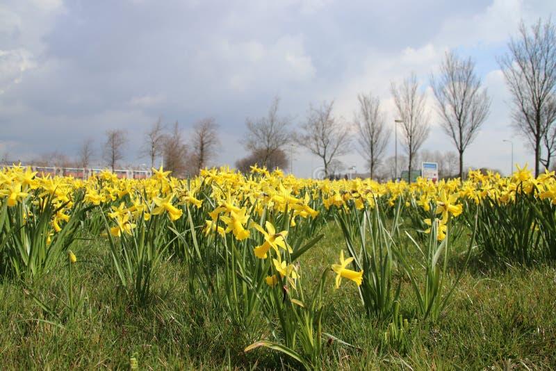 mettez en place complètement des jonquilles jaunes dans le domaine d'herbe public dans Waddinxv photographie stock libre de droits