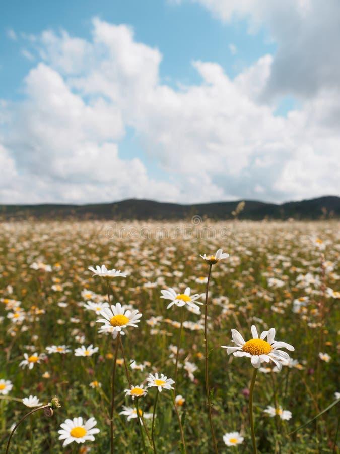 Mettez en place les camomiles de fleurs sauvages contre un ciel nuageux photo stock