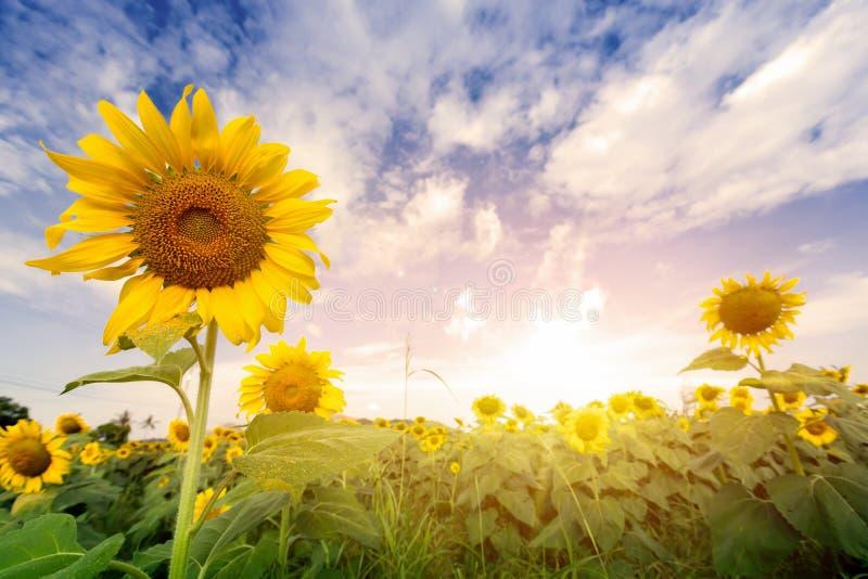 Mettez en place les tournesols avec la lumière de fusée sur le lever de soleil photographie stock