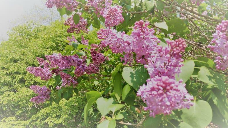 Meu arbusto lilás favorito fotos de stock
