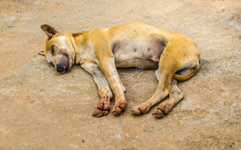 Meu cão é alaranjado-marrom Está dormindo felizmente imagens de stock