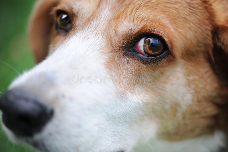 Meu cão da libra fotografia de stock