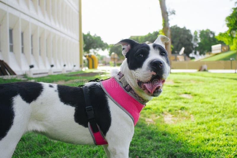 Meu cão Lala está feliz e eu amo-o fotografia de stock royalty free
