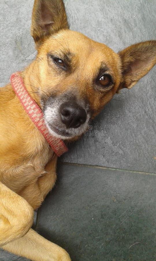 Meu cão pequeno Lila imagem de stock