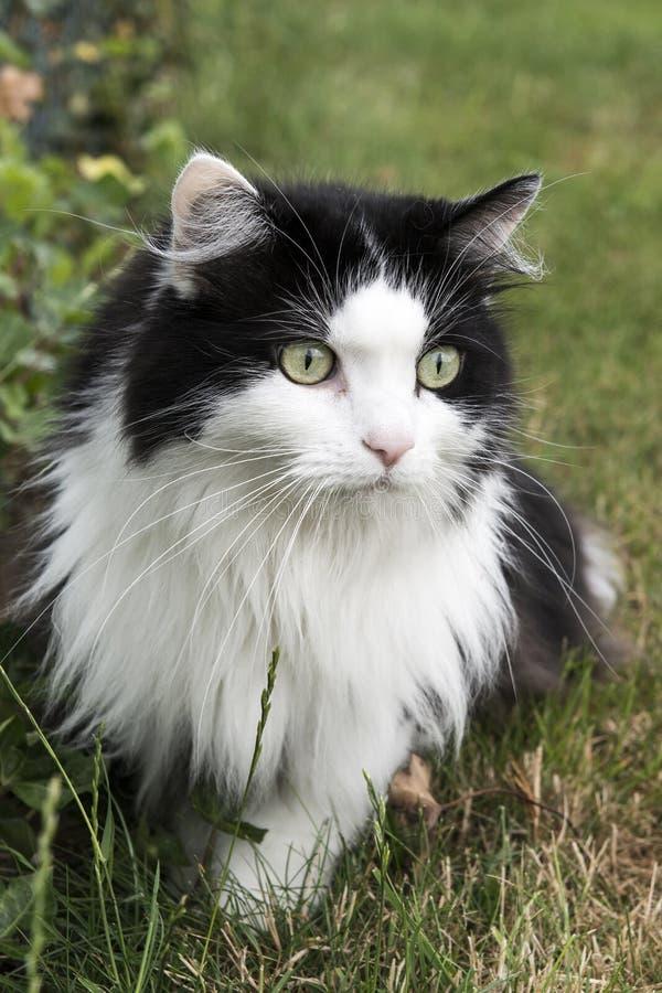 Meu gato do angora de Turkse no jardim fotografia de stock