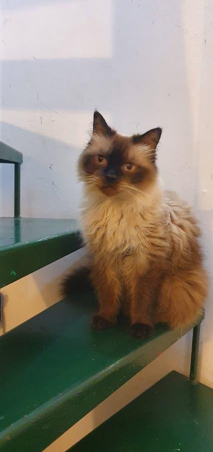 Meu gato hymalayan quieto bonito imagens de stock royalty free