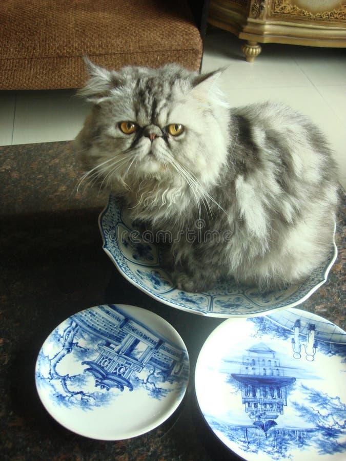 Meu gato impertinente da Pérsia fotografia de stock