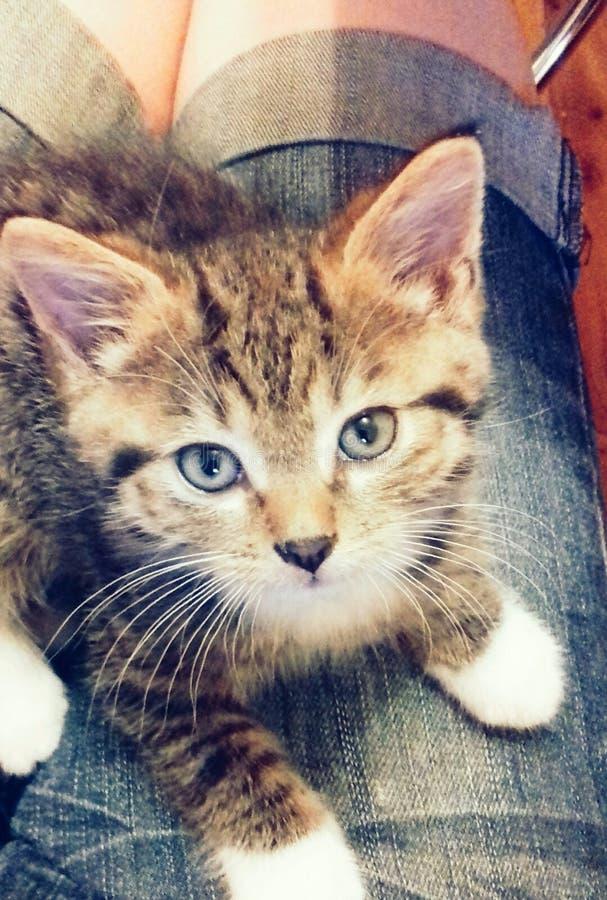Meu Leão do gatinho foto de stock