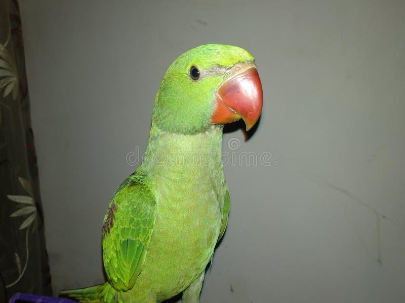Meu papagaio super que tem o divertimento em casa imagem de stock royalty free