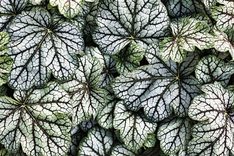 Meuchera Hybrida绿色香料绿色和白色叶子  免版税库存图片