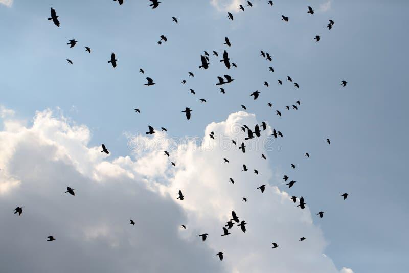 Meurtre des corbeaux photographie stock libre de droits