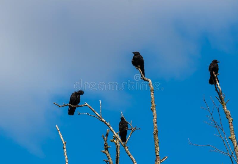Meurtre des corneilles recueillant sur les branches d'arbre mortes images libres de droits