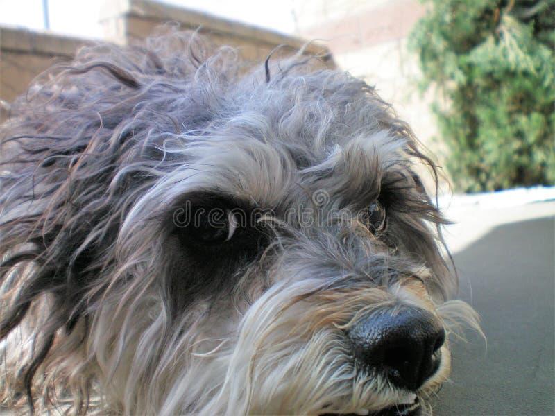 Meus afagos da caniche de Terrier fecham-se acima da vista fotografia de stock royalty free