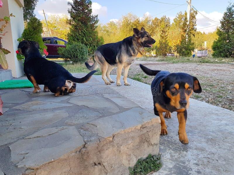 Meus cães do ` s da família fotografia de stock