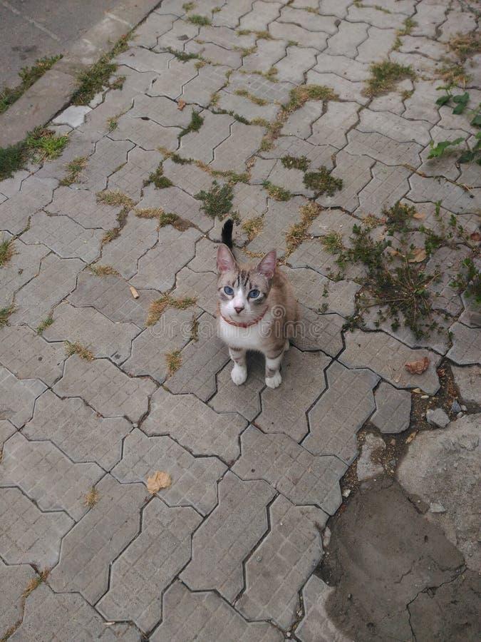 Meus olhos azuis doces do gato foto de stock
