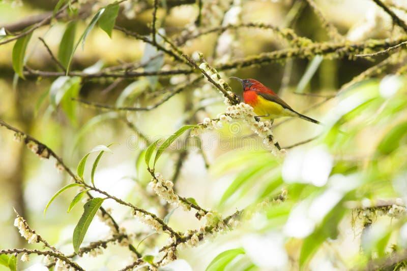 Mevr.gould's Sunbird royalty-vrije stock fotografie