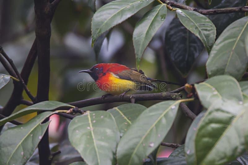 Mevr.gould's Sunbird stock fotografie