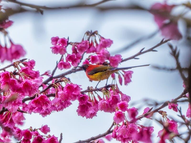 Mevr.Gould ` s sunbird Aethopyga gouldiae stock foto's