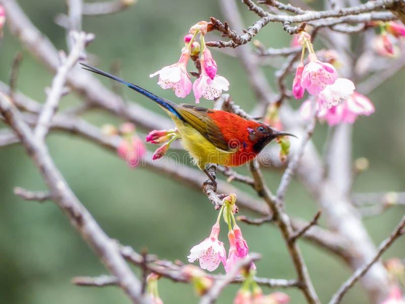 Mevr.Gould ` s sunbird Aethopyga gouldiae royalty-vrije stock fotografie
