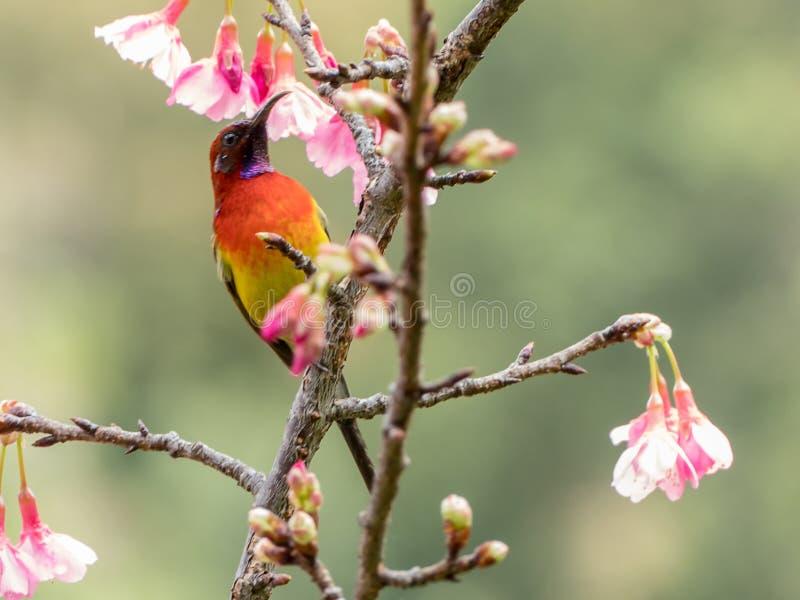 Mevr.Gould ` s sunbird Aethopyga gouldiae royalty-vrije stock foto's