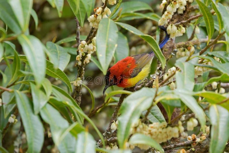 Mevr. Gould ` s Sunbird in oranjegeel met het metaalstaart voeden royalty-vrije stock afbeelding