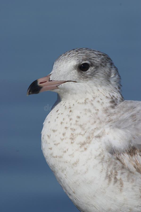 Mew Gull, Larus Canus Stock Photos