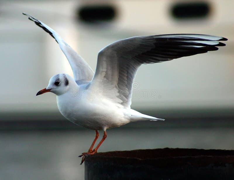 Download Mewa obraz stock. Obraz złożonej z natura, ptaki, frajery - 2273