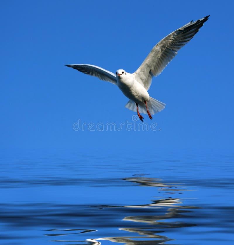 mewa latać nad wodą zdjęcie stock