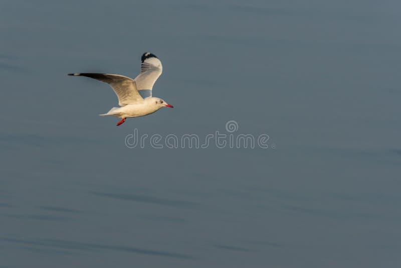 Mewa latająca nad morzem zdjęcie stock