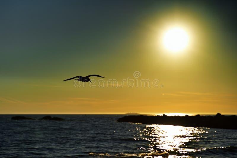 Mewa morska w ustawianiu lotu nad Słońcem obrazy royalty free