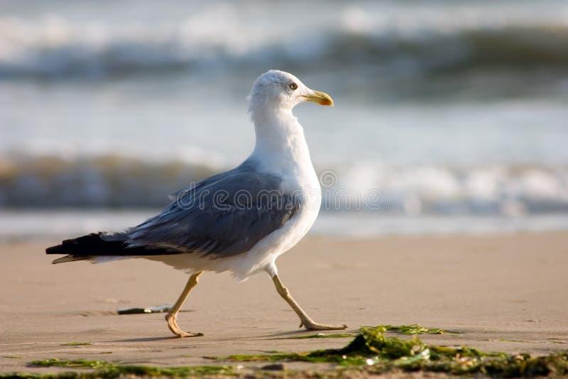mewa na plaży zdjęcia royalty free