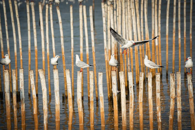 Mewa stojąca na bambusu obraz royalty free