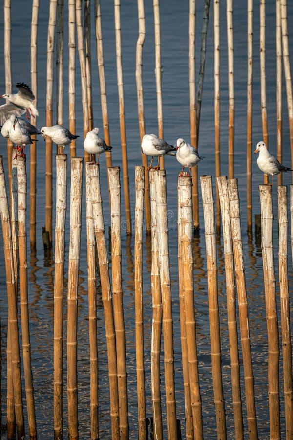 Mewa stojąca na bambusu obrazy stock