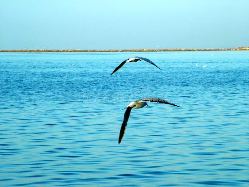 Download Mewy morskie obraz stock. Obraz złożonej z frajer, frajery - 36993