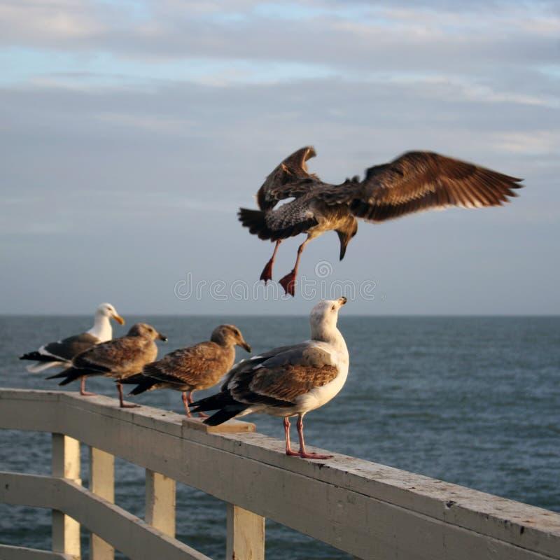 mewy morskie zdjęcie stock