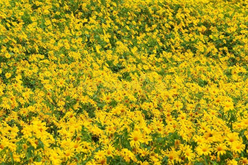Mexicaans zonnebloemonkruid royalty-vrije stock foto