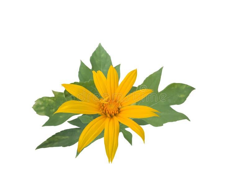 Mexicaanse die zonnebloem of tithoniadiversifolia met blad op whit achtergrond wordt ge?soleerd royalty-vrije stock foto's