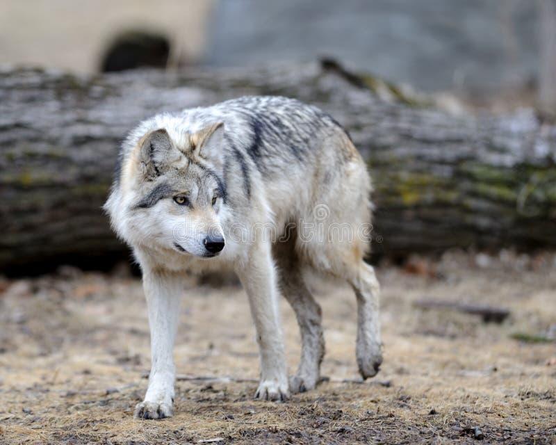 Mexicaanse grijze wolf royalty-vrije stock afbeeldingen