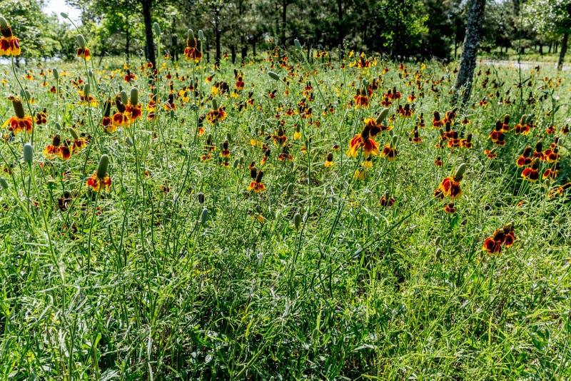 Mexicaanse hoed Wildflowers royalty-vrije stock foto's