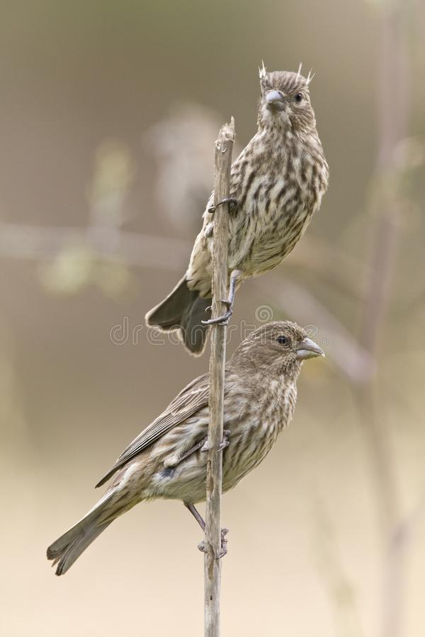 Mexicaanse Roodmus, House Finch, Carpodacus mexicanus royalty free stock photos